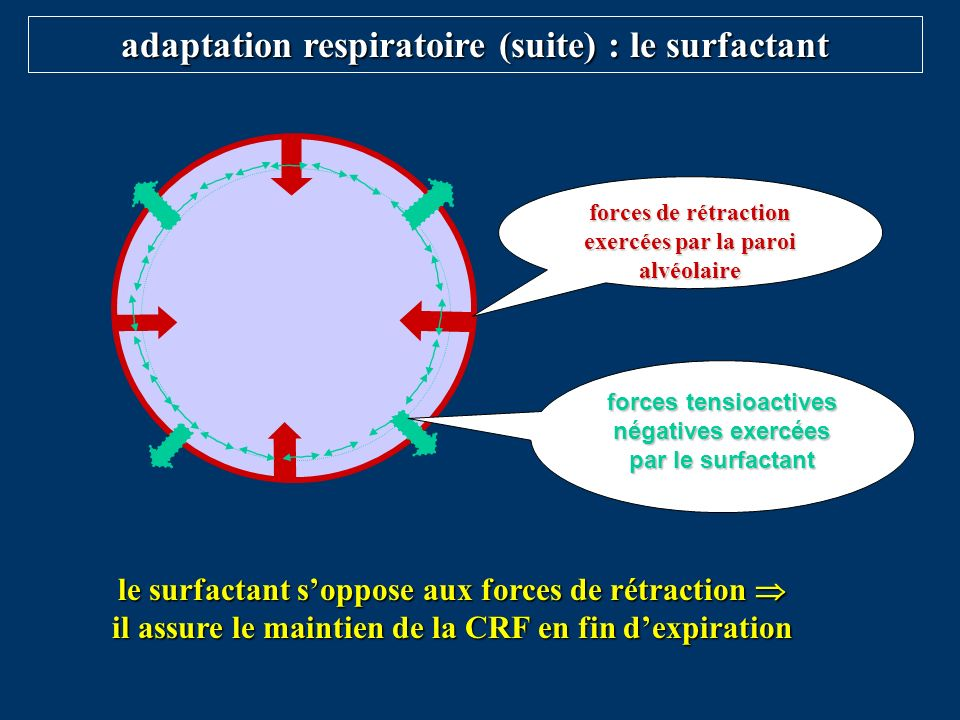 adaptation respiratoire (suite) : le surfactant