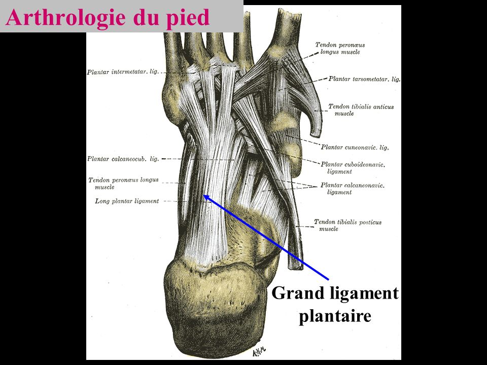Grand ligament plantaire