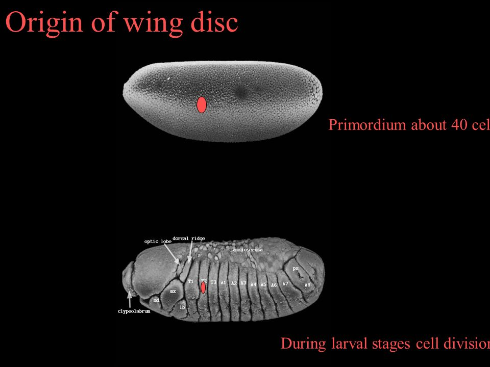Origin of wing disc Primordium about 40 cells