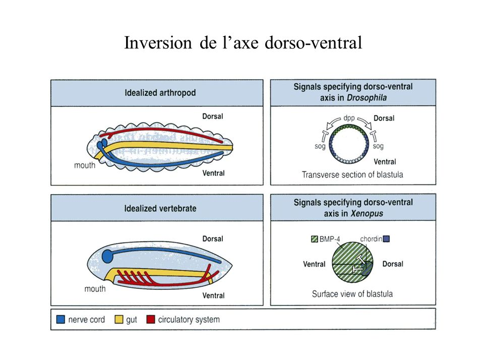 Inversion de l'axe dorso-ventral