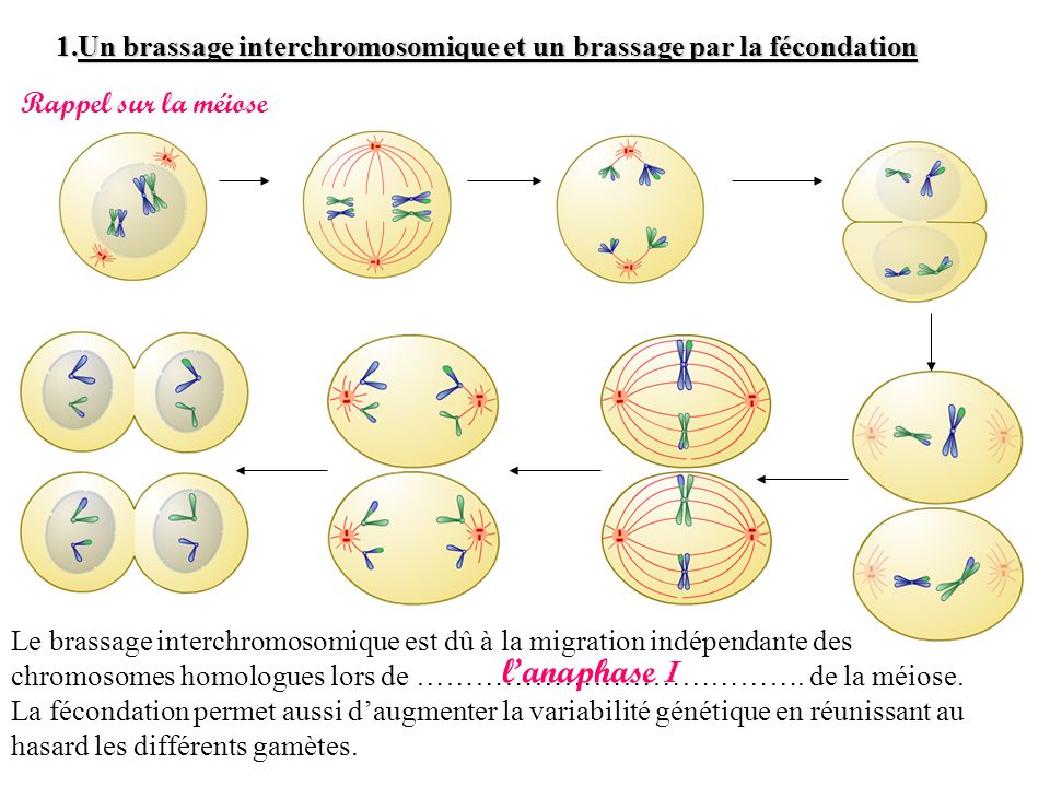 Un brassage interchromosomique et un brassage par la fécondation