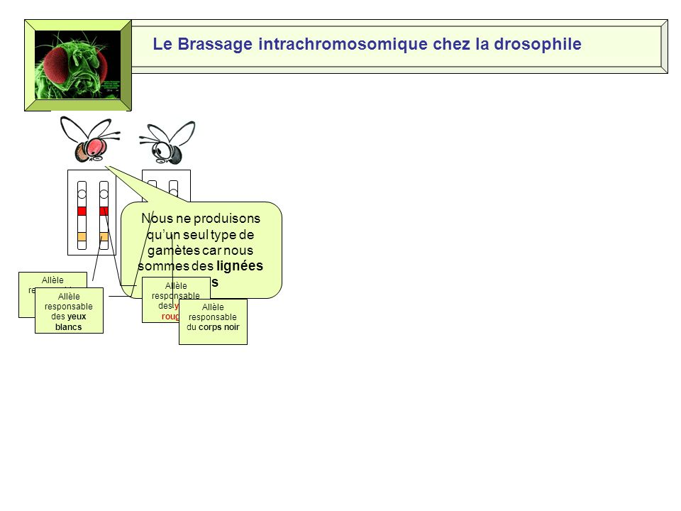 Le Brassage intrachromosomique chez la drosophile