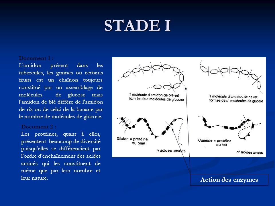 STADE I Action des enzymes Document 1 :