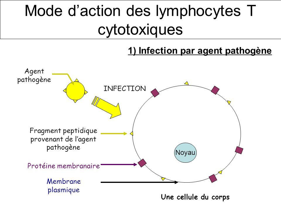 Mode d'action des lymphocytes T cytotoxiques