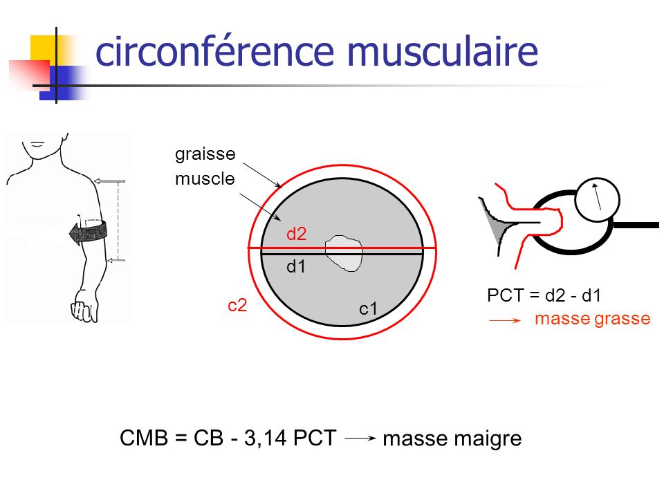 circonférence musculaire
