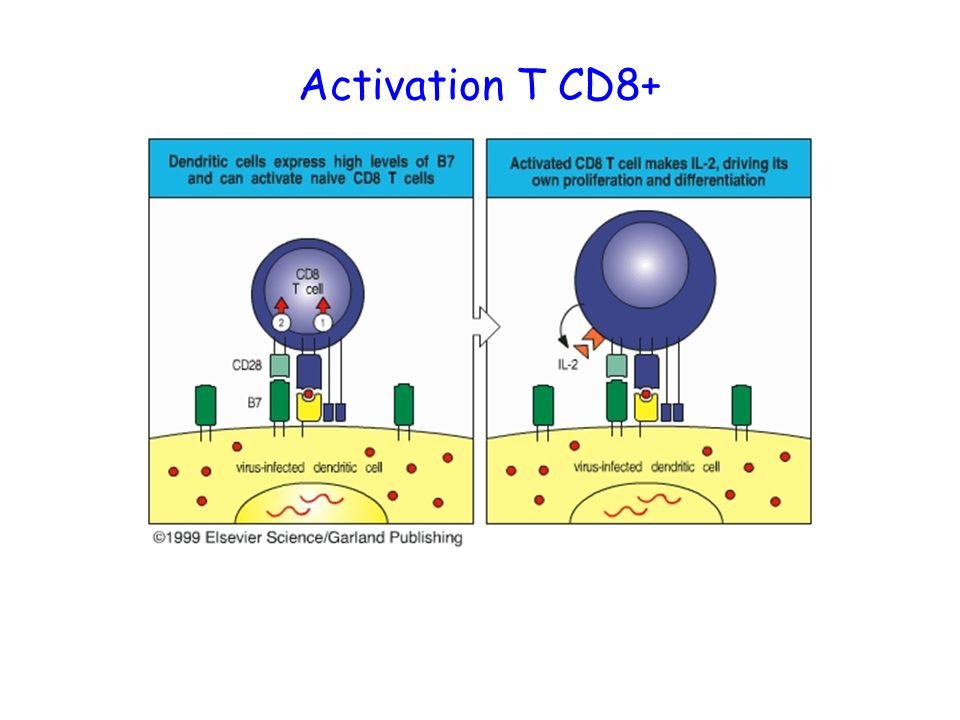 Activation T CD8+