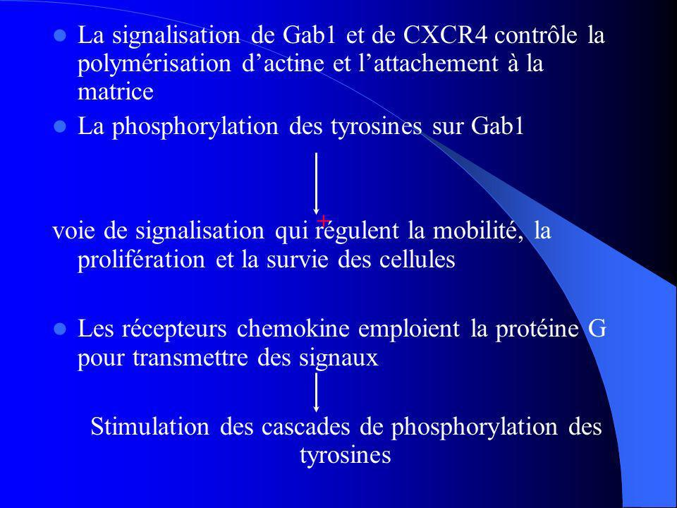 Stimulation des cascades de phosphorylation des tyrosines