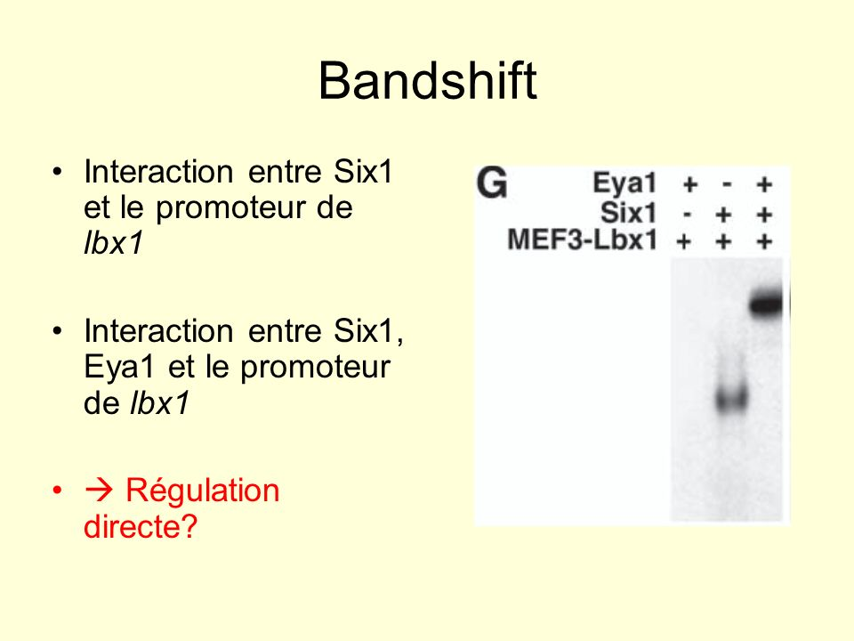 Bandshift Interaction entre Six1 et le promoteur de lbx1