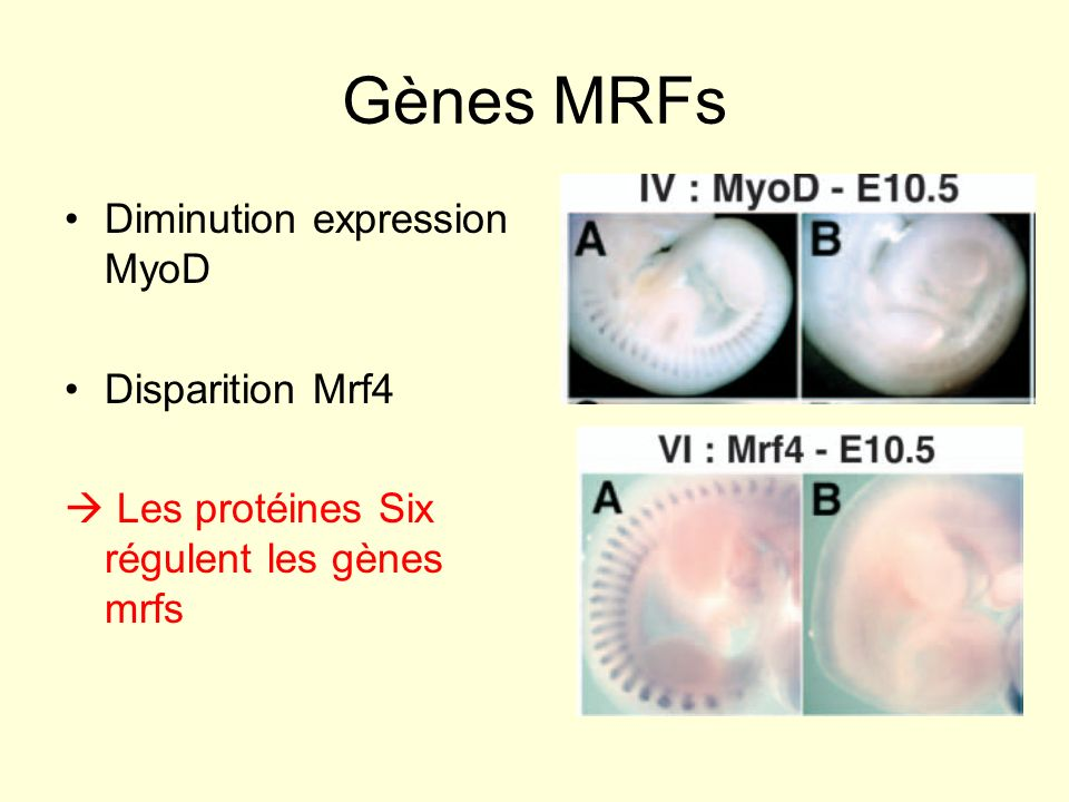 Gènes MRFs Diminution expression MyoD Disparition Mrf4
