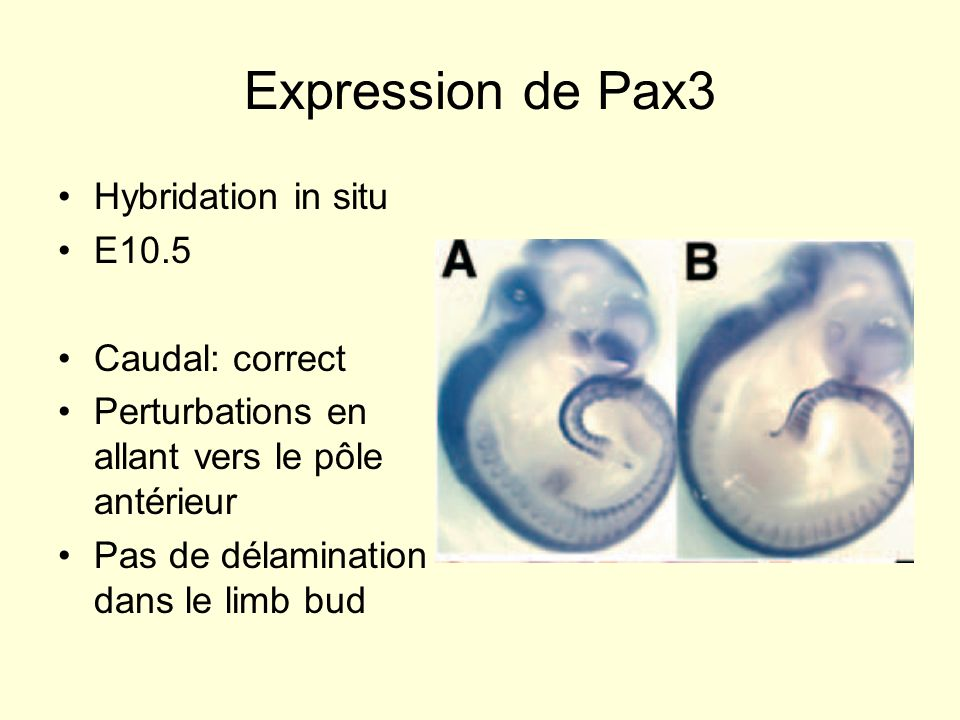 Expression de Pax3 Hybridation in situ E10.5 Caudal: correct