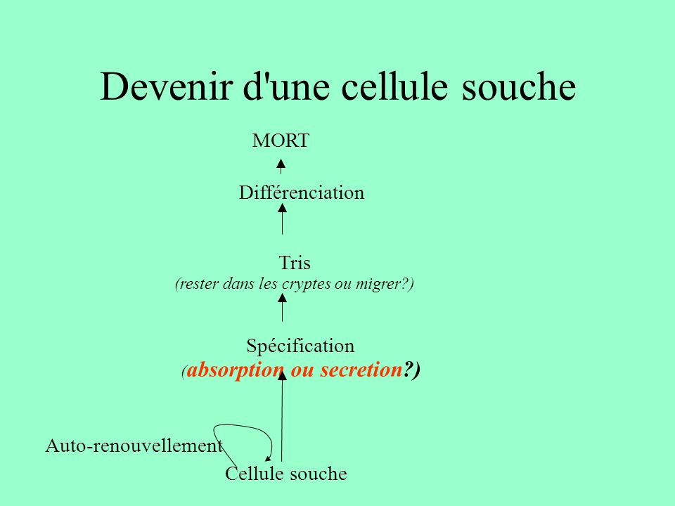 Devenir d une cellule souche