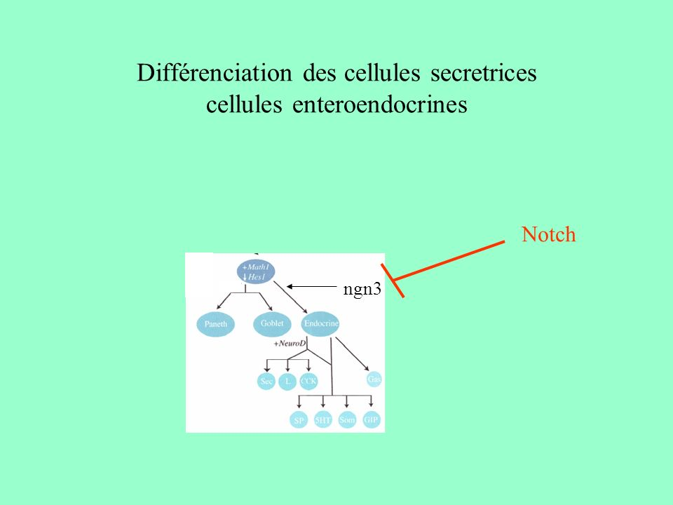 Différenciation des cellules secretrices cellules enteroendocrines