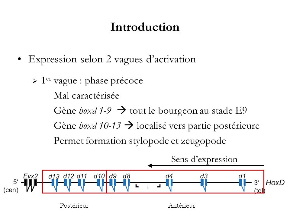 Introduction Expression selon 2 vagues d'activation