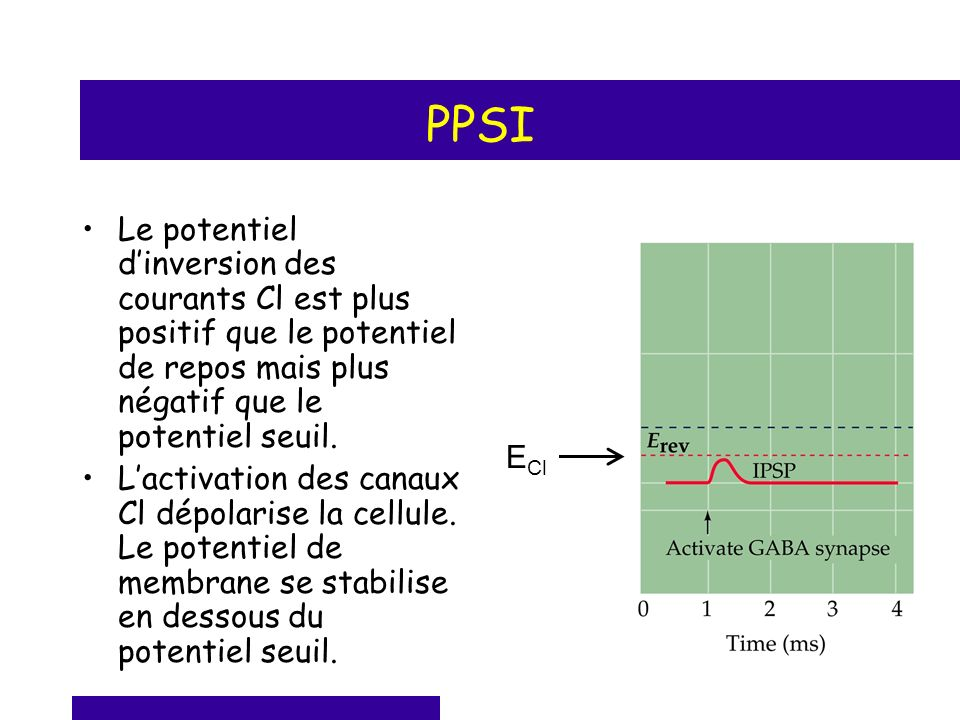 PPSI Le potentiel d'inversion des courants Cl est plus positif que le potentiel de repos mais plus négatif que le potentiel seuil.