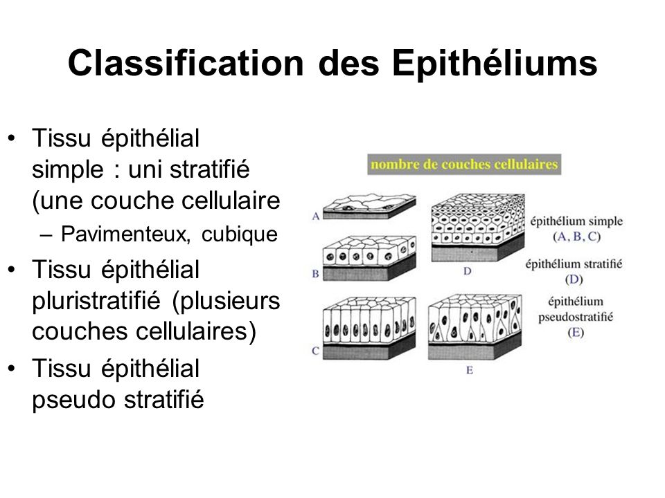 Classification des Epithéliums