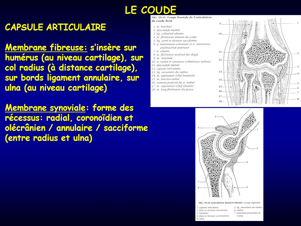 LE COUDE CAPSULE ARTICULAIRE