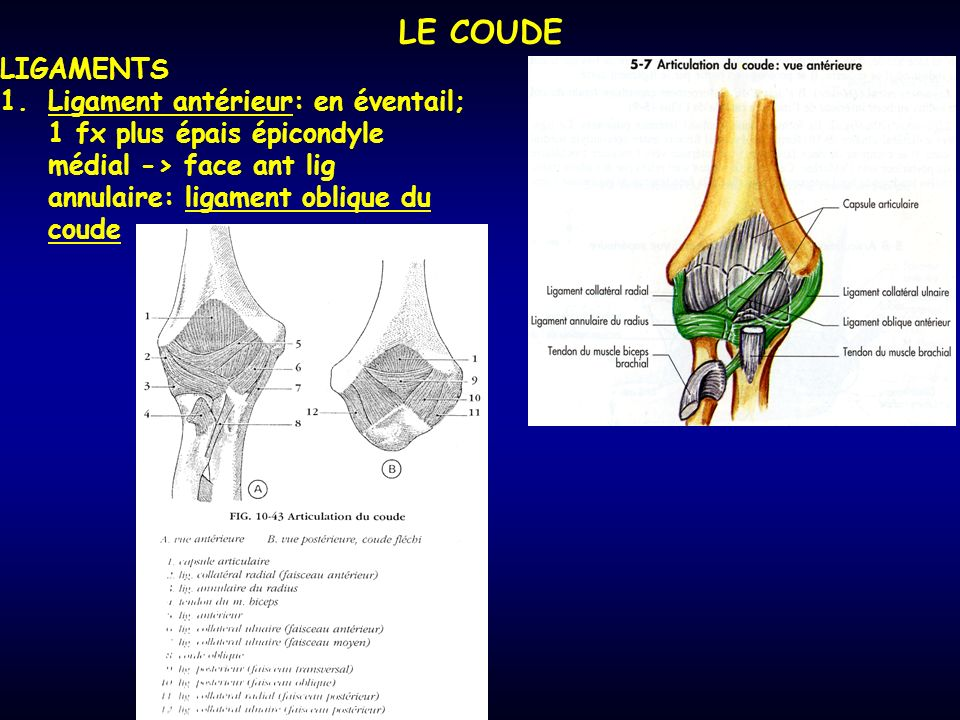 LE COUDE LIGAMENTS.
