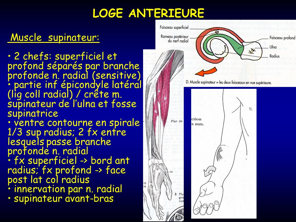LOGE ANTERIEURE Muscle supinateur: