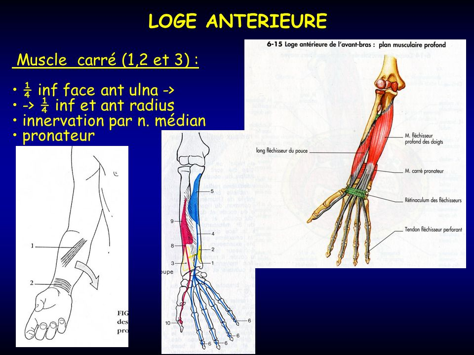 LOGE ANTERIEURE Muscle carré (1,2 et 3) : ¼ inf face ant ulna ->