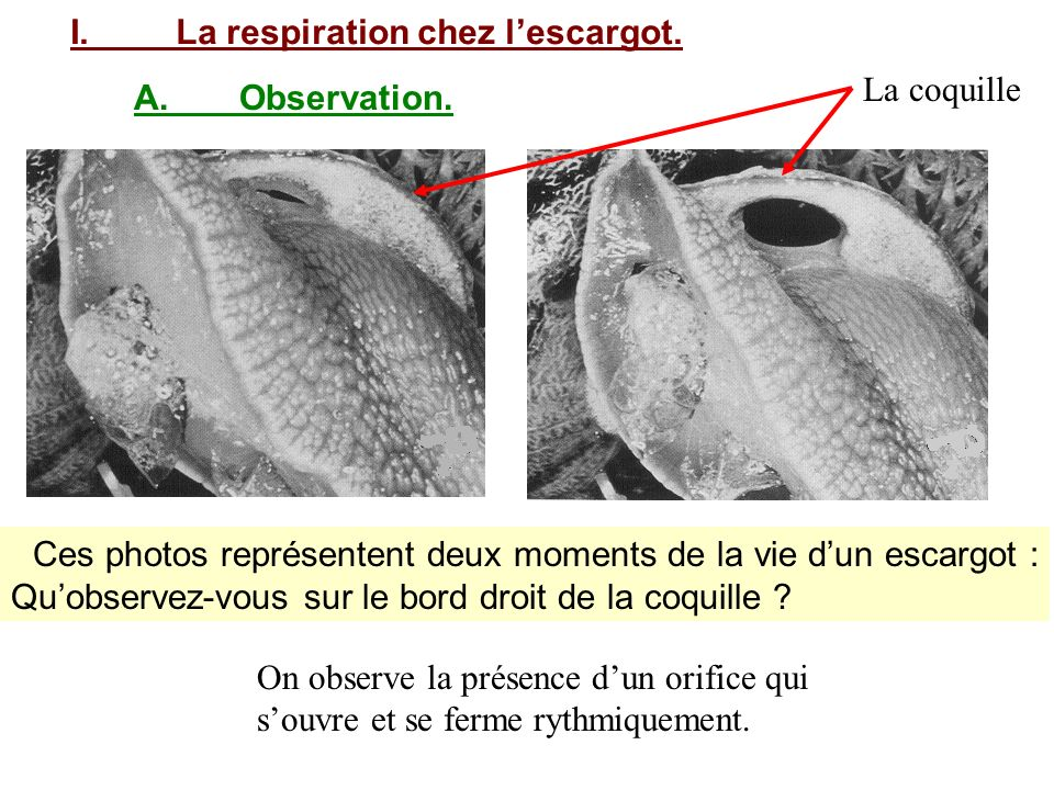 I. La respiration chez l'escargot.