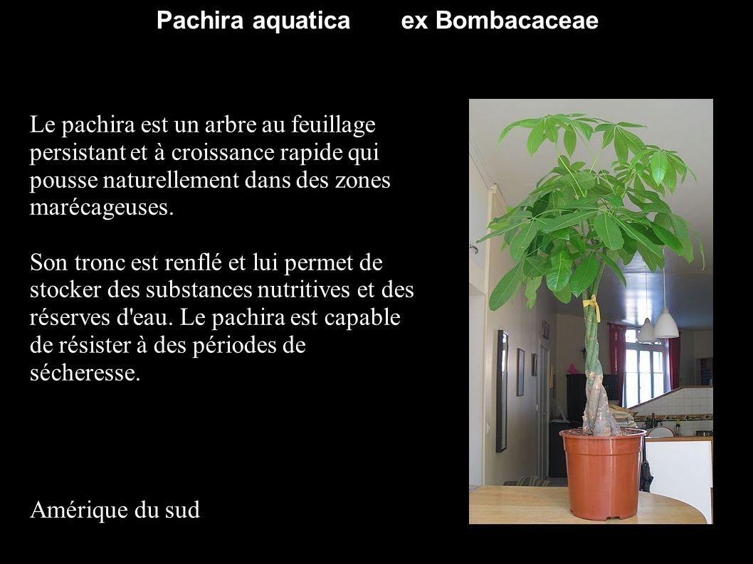 des malvaceae d 39 ailleurs ppt video online t l charger. Black Bedroom Furniture Sets. Home Design Ideas