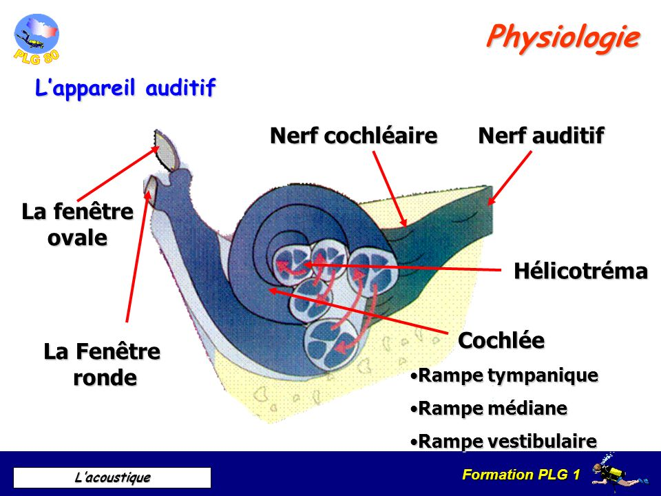 Physiologie L'appareil auditif Nerf cochléaire Nerf auditif