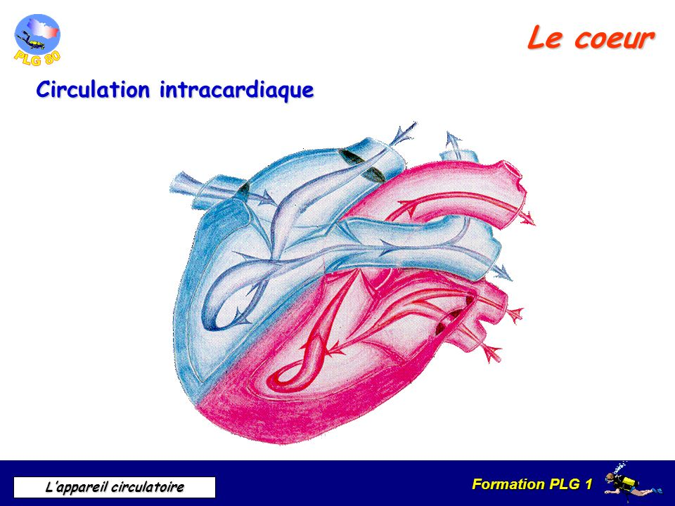 Le coeur Circulation intracardiaque