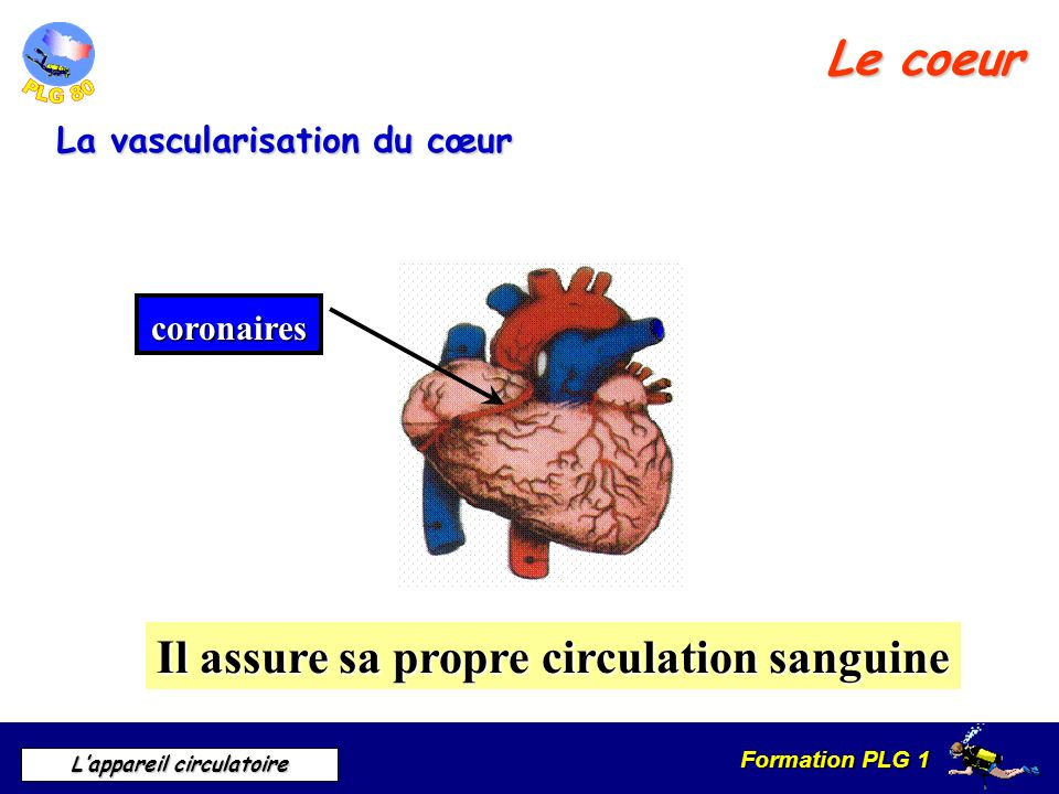 Il assure sa propre circulation sanguine