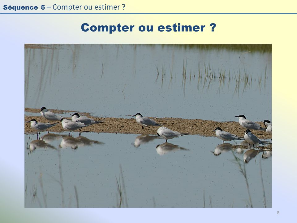 Compter ou estimer Photo : Sterne hansel - Gull-billed Tern - Sterna nilotica.