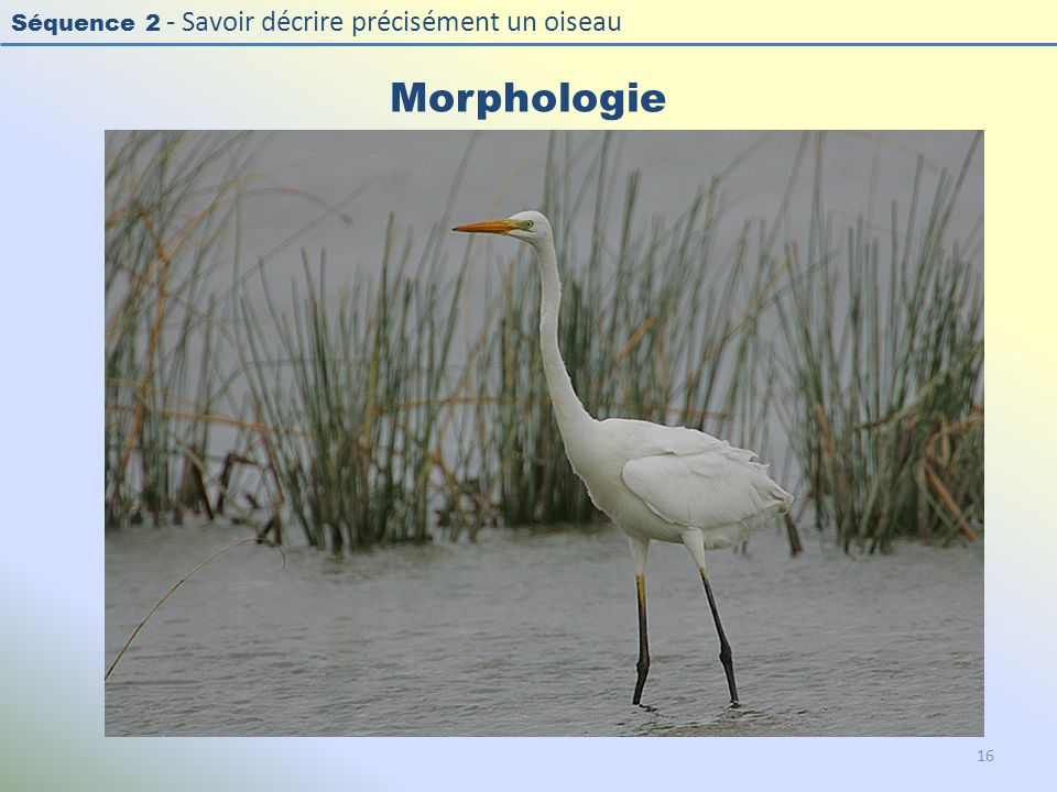 Morphologie Photo : Grande aigrette - Great Egret - Casmerodius albus