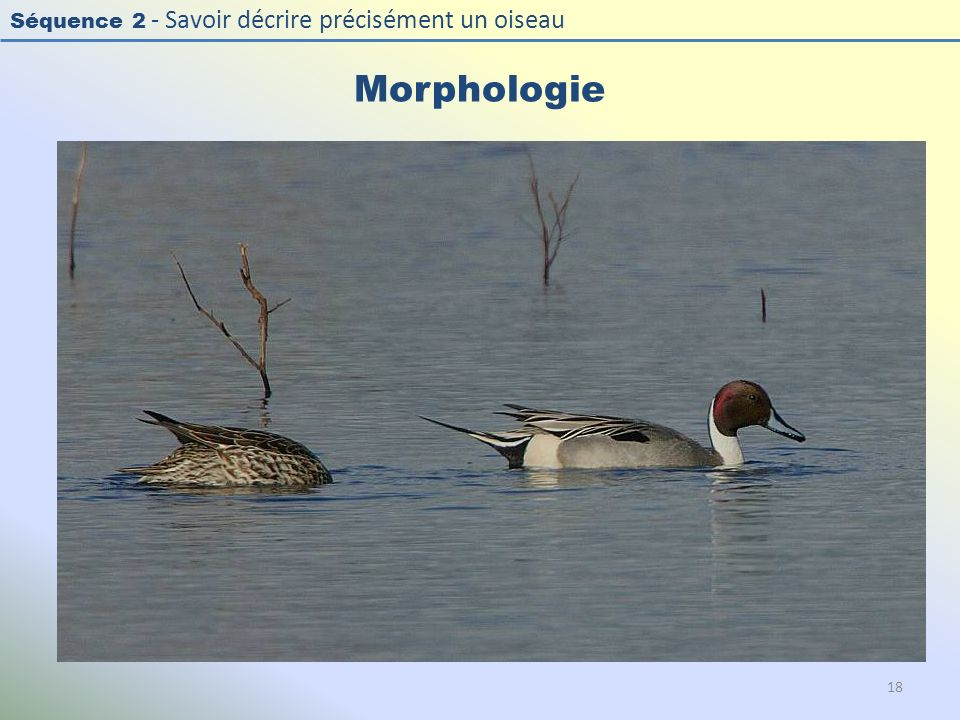 Morphologie Photo : Canard pilet - Northern Pintail -Anas acuta