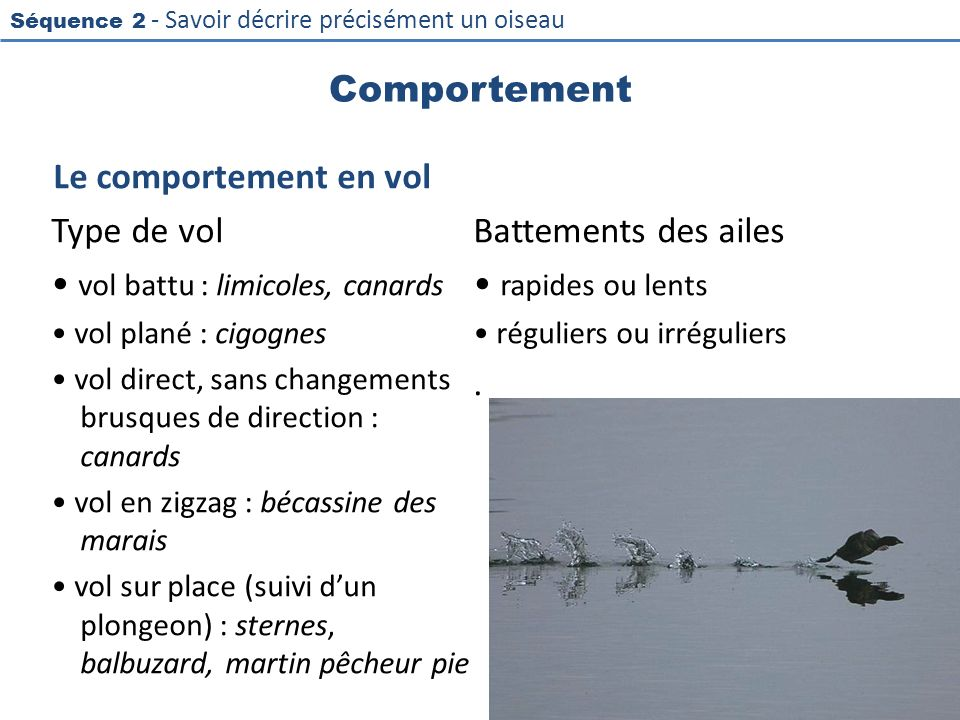 • vol battu : limicoles, canards • rapides ou lents .