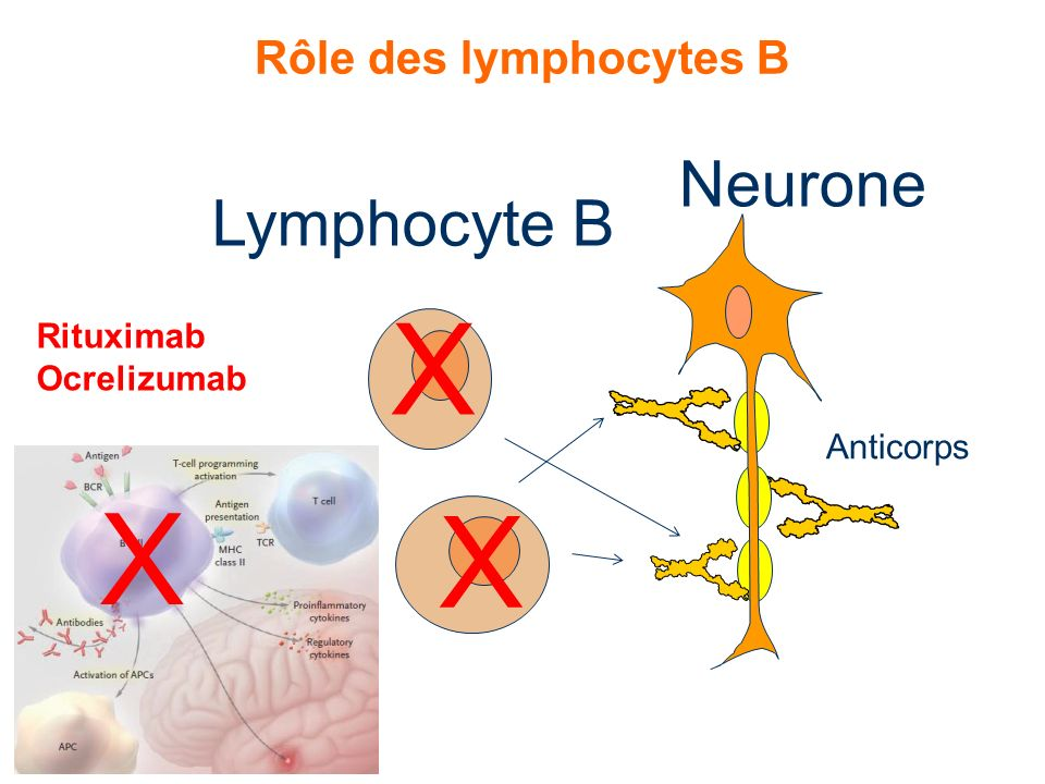 X X X Neurone Lymphocyte B Rôle des lymphocytes B Rituximab