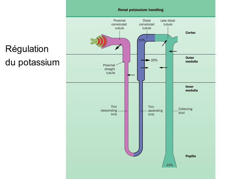 Régulation du potassium