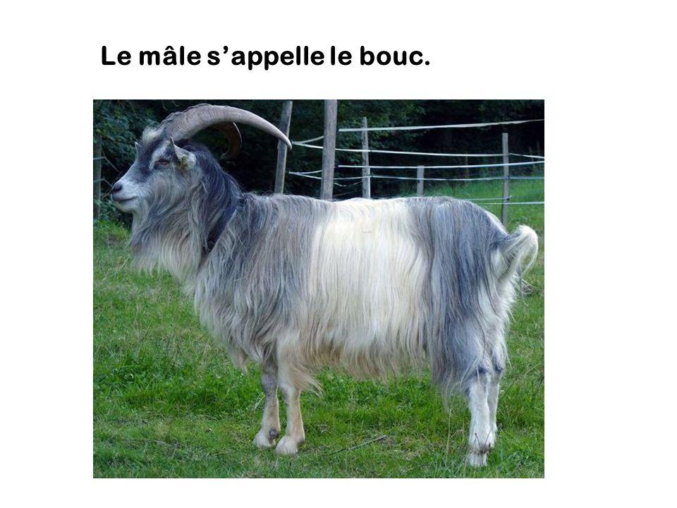 chèvre male ou femelle