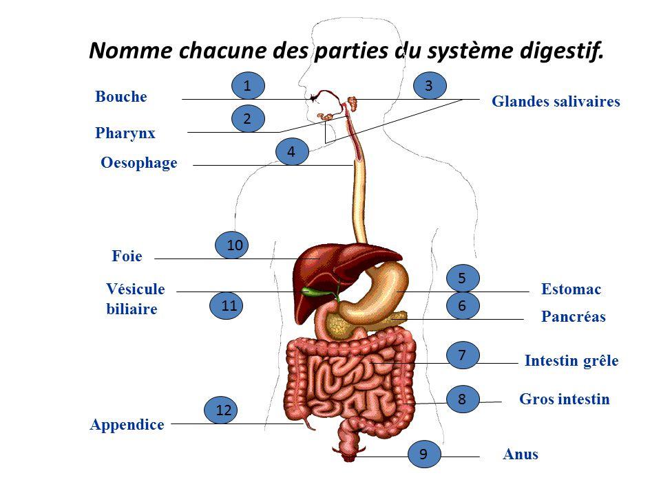 Pancreas Anatomie Et Physiologie Ppt - ARCHIDEV