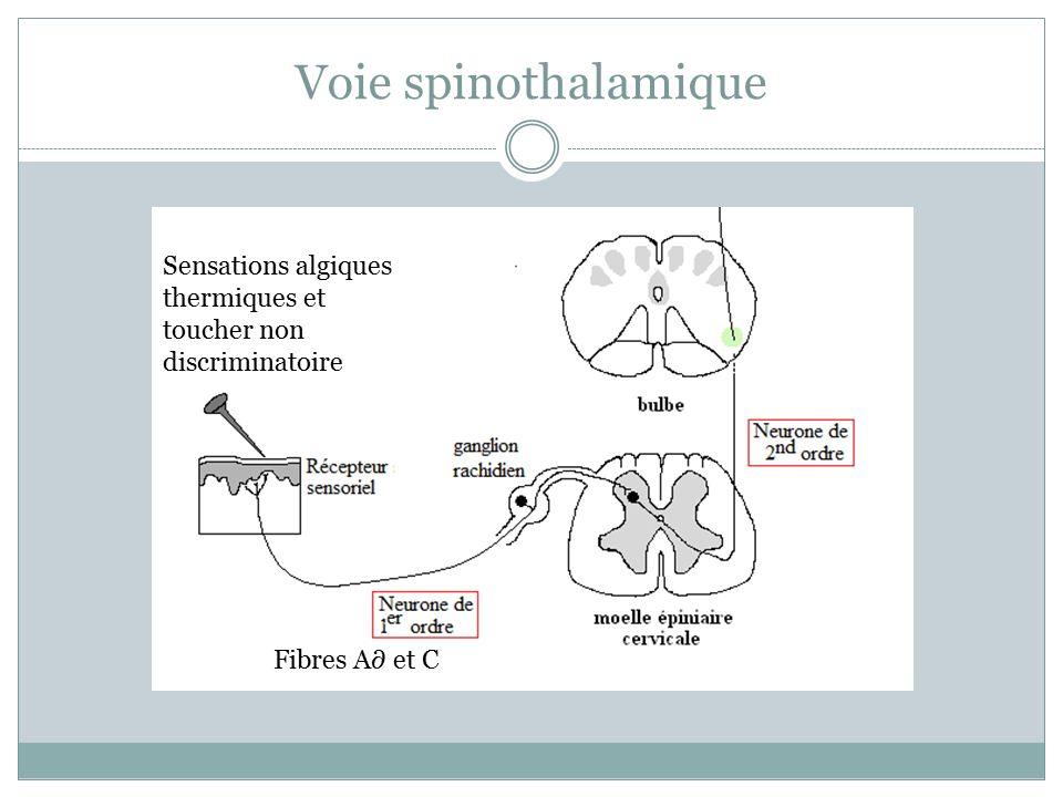 voie lemniscale et spino thalamique