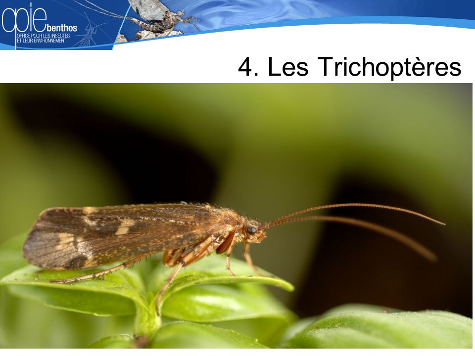 https://slideplayer.fr/slide/8437948/25/images/17/4.+Les+Trichopt%C3%A8res.jpg