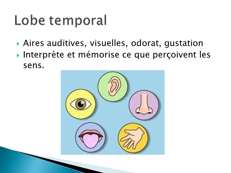 Lobe temporal Aires auditives, visuelles, odorat, gustation