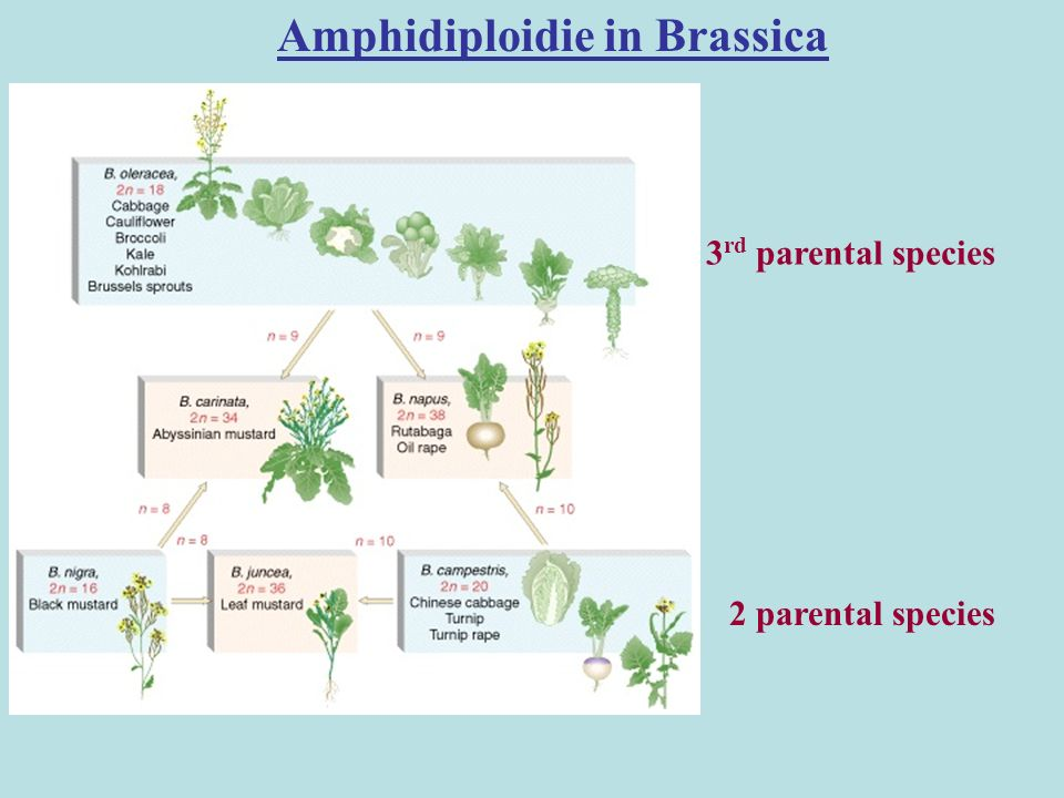 Amphidiploidie in Brassica