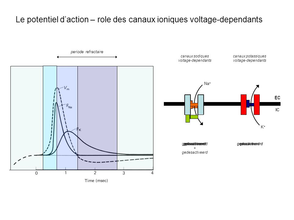 Le potentiel d'action – role des canaux ioniques voltage-dependants
