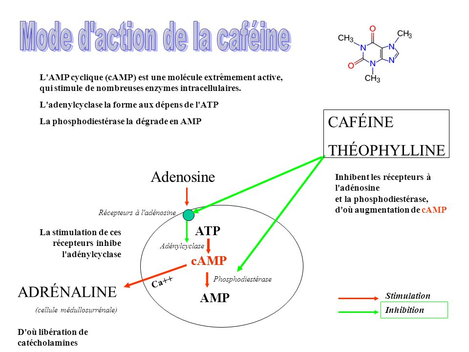 Mode d action de la caféine