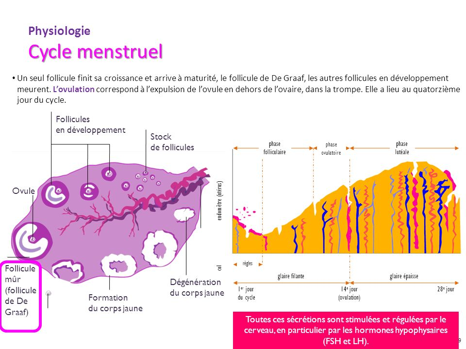 Physiologie Cycle menstruel