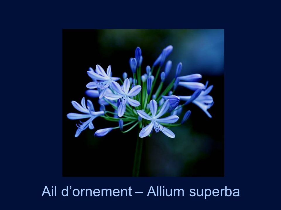 Ail d'ornement – Allium superba
